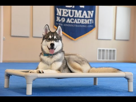 Zeke (Siberian Husky) Boot Camp Dog Trainng Video Demonstration