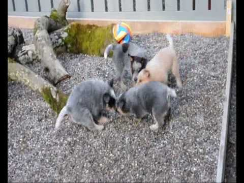 australian cattle dog 6 week old puppies playing