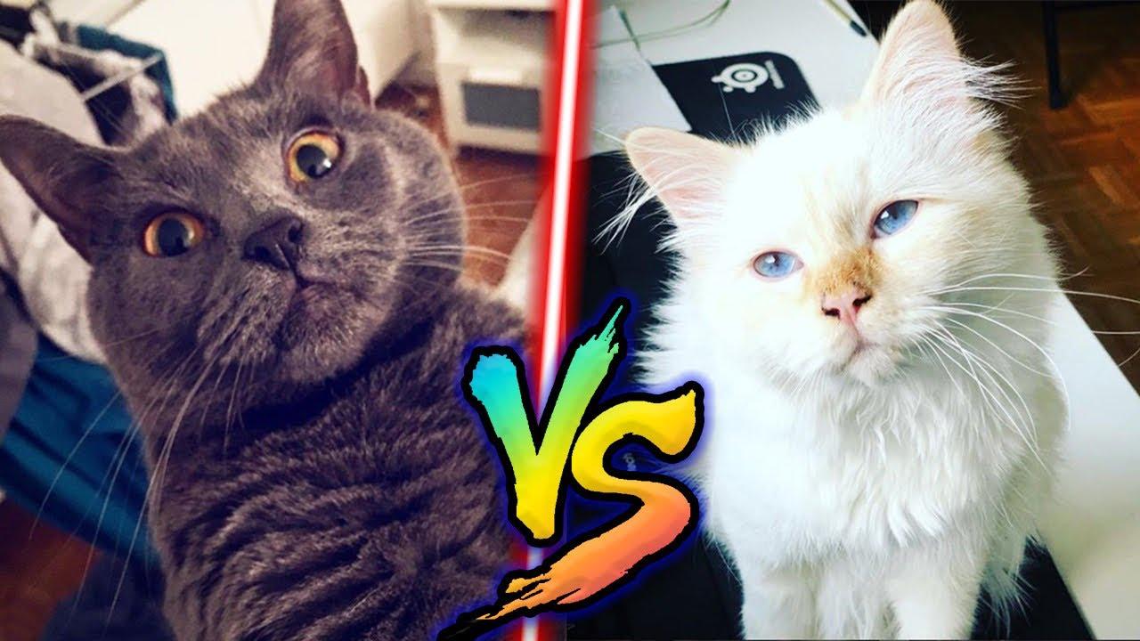 mes-chats-font-un-duel