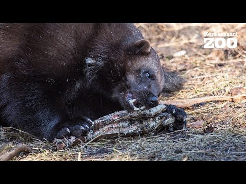Wolverine shows some awesome moves in Helsinki Zoo (Gulo gulo)