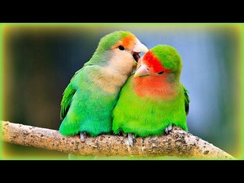 ❀ Lovebirds Sounds  1 Hour