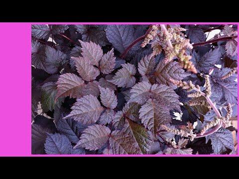 Вопрос: Какие растения сочетаются с астильбой?