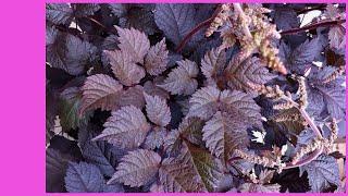 Астильба  - можно ли ею удивить? Сорта астильбы для нового сезона. Неприхотливые многолетние цветы