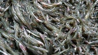 Японская кухня ✰ Песчанки (рыбы) рецепт. Sand Eel Boiled Down in Soy Sauce いかなごのレシピ Ammodytes