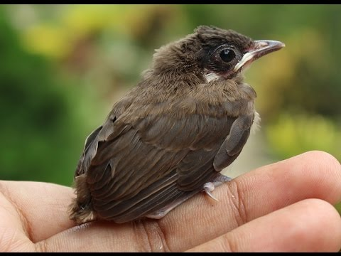 Red-Whiskered Bulbul - Incubation and Hatching - full story