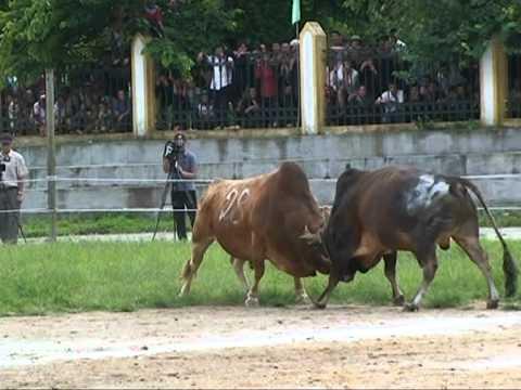 [Full] Lễ hội chọi bò huyện Mèo Vạc lần thứ nhất năm 2011
