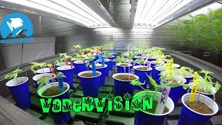 A Vegetative State, Cannabis Grow Op!