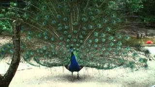 インドクジャク【東山動植物園に行こう!!】