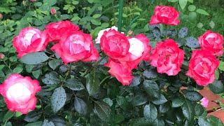 Розы. Они покорили мое сердце Pullman Orient Express Barone Edmond De Rothschild Nostalgie.