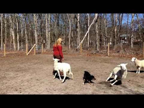 Miniature Australian Shepherd Herding Instinct Test