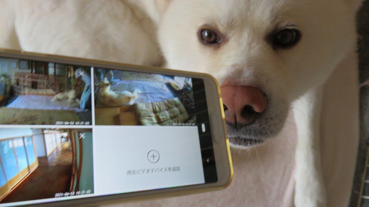 【秋田犬ゆうき】どこ見てんのよ!ゆうき専用の見守りカメラを設置しました【akita dog】