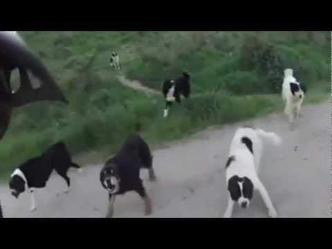 Mann Wird Von Mehreren Hunden Angegriffen.