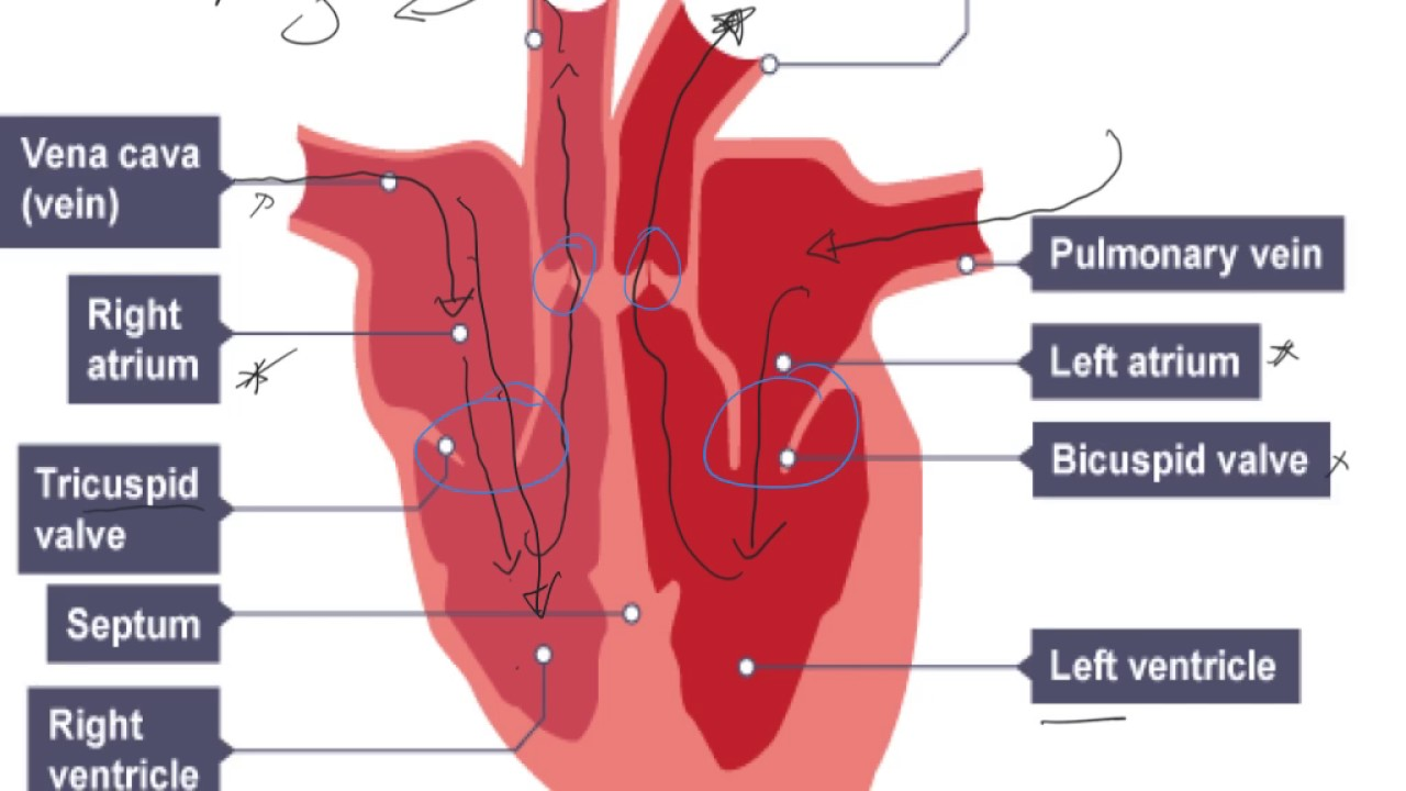 Simple Diagram Of Human Lungs National 5 Biology Key Area 2 6 The Heart Youtube