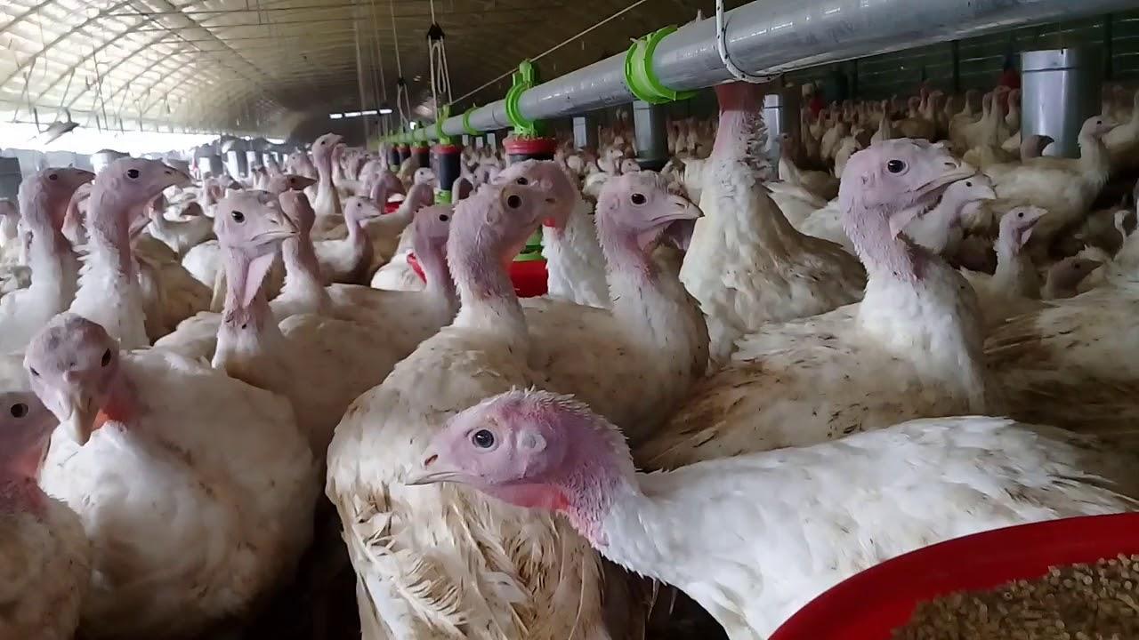 تربية ديك رومي لاداند أبيض فرانساوي والدجاج بيبي في البيت هو الحل مزارع الدواجن Dik Roomi Dinde Youtube