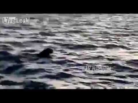 Tiger swims across Yalu River from North Korea into China 2014