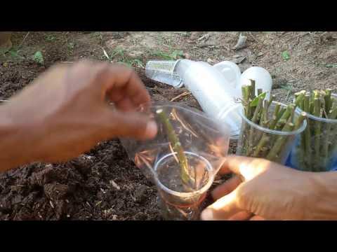 สุดง่ายการขยายพันธุ์มะเขือพวง ไม่ต้องเพาะเมล็ด ไม่ต้องตอนกิ่ง ไม่ต้องทาบกิ่ง มาทำปักชำแบบควบแน่นกัน