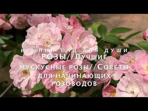 РОЗЫ//Лучшие сорта мускусных роз//Советы для начинающих розового