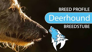 Scottish Deerhound [2020] Breed, Temperament & Training
