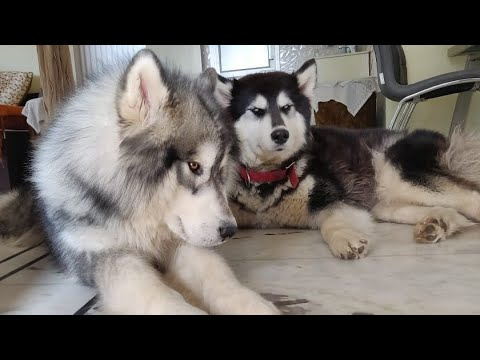 Alaskan Malamute Litter Born in India for Sale in India. Alaskan Malamute Pups for Sale
