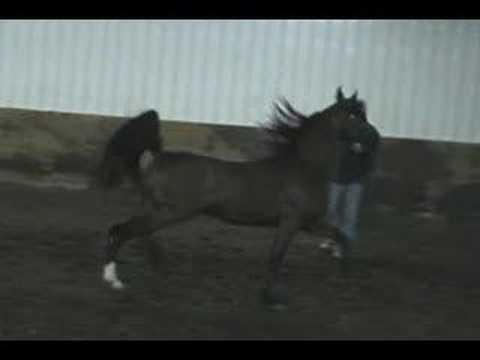 Ali Ghazaan - 2005 Arabian Stallion