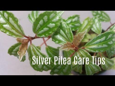 Silver Pilea / Aluminum Plant Care Tips