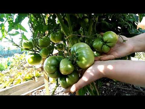 Супер сорта томатов для о. г.2020 года  Северный регион.