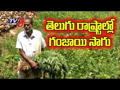 Special Discussion on Ganja Cultivation in Telugu States | TV5 News