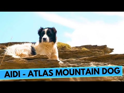 Aidi - Atlas Mountain Dog - Facts and Information