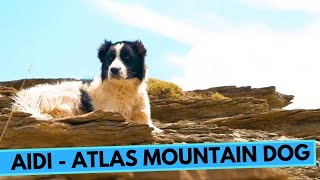 Aidi  Atlas Mountain Dog  Facts and Information