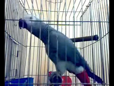 arabi thathumma ( parrot speak arabic )