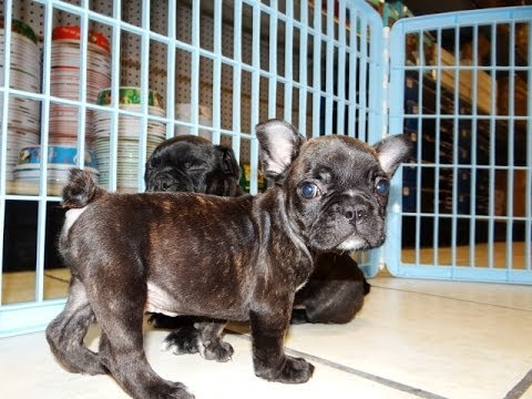 Frenchton, Puppies, Dogs, For Sale, In Jacksonville ...