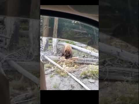 Bear Bites and Breaks Apart Felled Log in Yellowstone Park