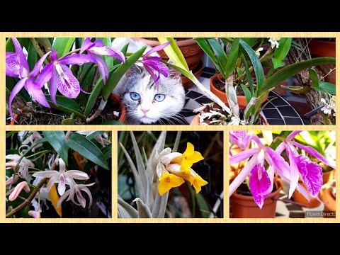 ОРХИДЕИ цветущие в апреле. Как зацвести каттлею Maikai. Орхидея Babtisonia для любителей миниатюр.