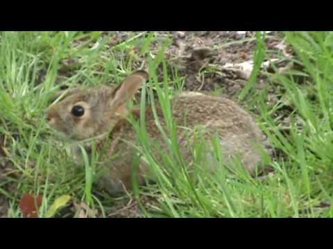 Wild Bunny Rabbit in my backyard - so cute!! - YouTube
