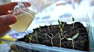 Всегда кормлю этим молодую рассаду до пикировки и урожай в разы лучше чем у соседей!