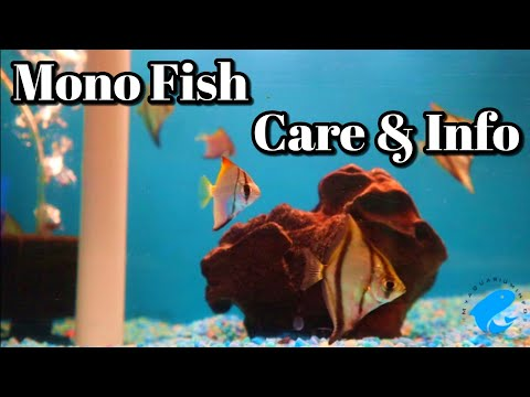 Mono Argentus Fish Care And Information (Monodactylus Argenteus)