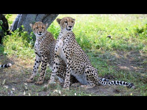 Cheetah Encounters