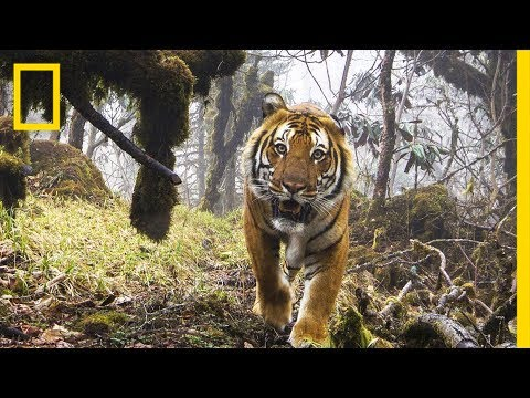 Watch: Extremely Rare Footage of Wild Tigers in Bhutan   National Geographic