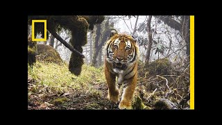 Watch  Extremely Rare Footage of Wild Tigers in Bhutan | National Geographic