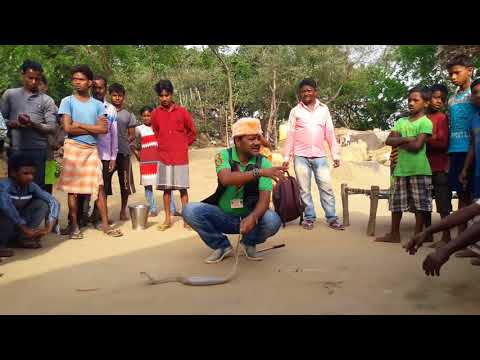 Most venomous snake indian Cobra then king Cobra  snake rescue team Panchet dam (N G O)