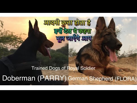 German Shepherd and Doberman Behaviour for Owner. Is your dog doing this ? Real Vid by Royal Soldier