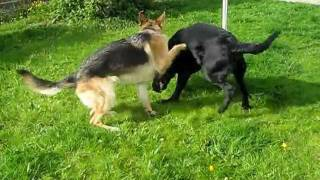 Enorme Labrador Retriever Vs Pastor Aleman...huge Labrador Retriever Vs German Shepherd