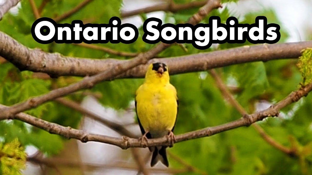 Common Ontario Backyard Songbirds - Bird Calls, Songs and ...