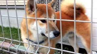 とあるお家の超可愛い柴犬(しばわんこ)です♪顔立ちが整っていて、トレ...