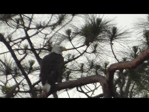 SWFL Eagles_Harriet's Home! & Flushes Wood Duck At Yonder Pond 06-05-16