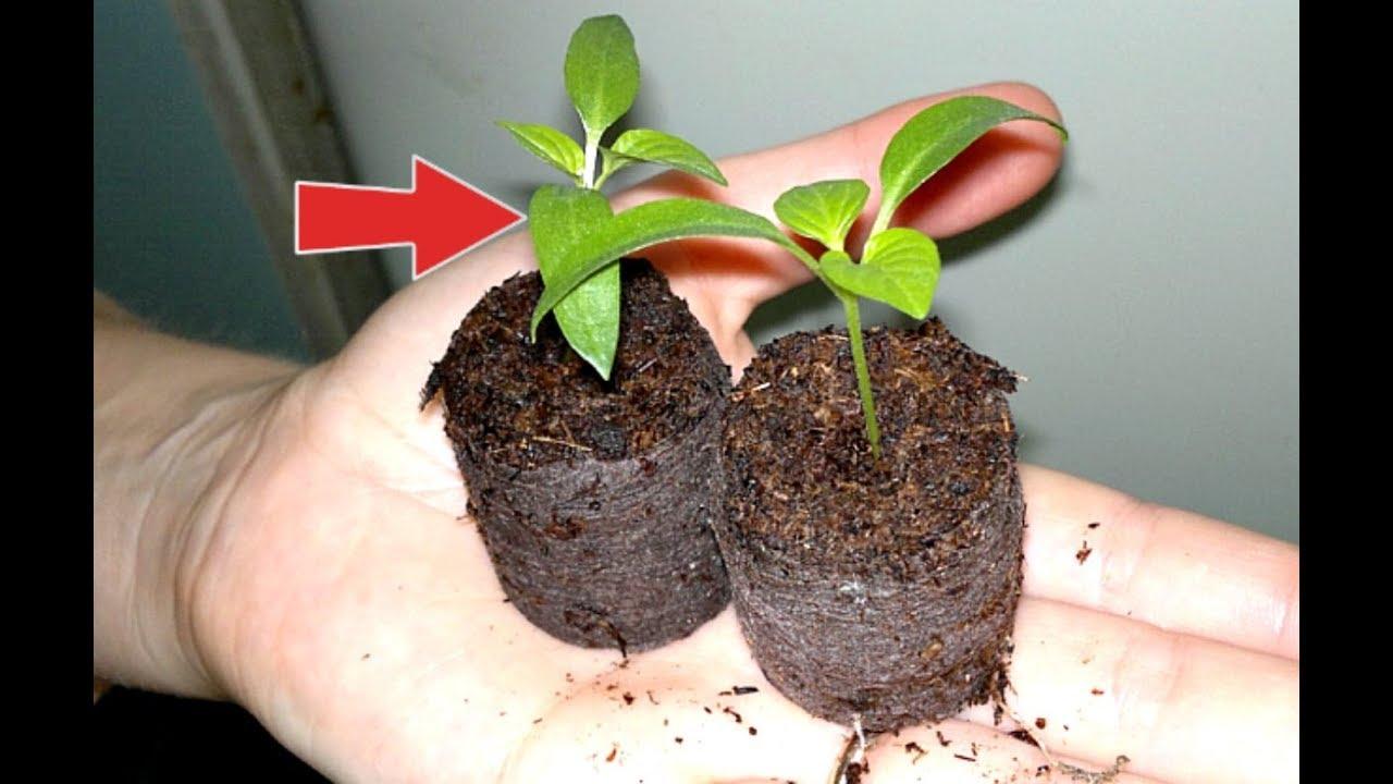 как посадить семена перцев в торфяные таблетки