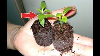 Этот способ даст вам мощнейшую рассаду перца!  Как посадить перец в торфяные таблетки?