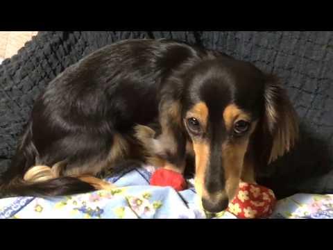 【Dog】お手玉症候群?ミニチュアダックスフンドのジョン  Beanbag syndrome? Miniature Dachshund John