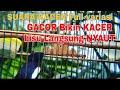 Suara Kacer Full Variasi Gacor Bikin Kacer Bisu Langsung Nyaut  Mp3 - Mp4 Download