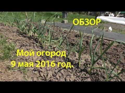 Выращивание лука порея, полезные свойства, хранение